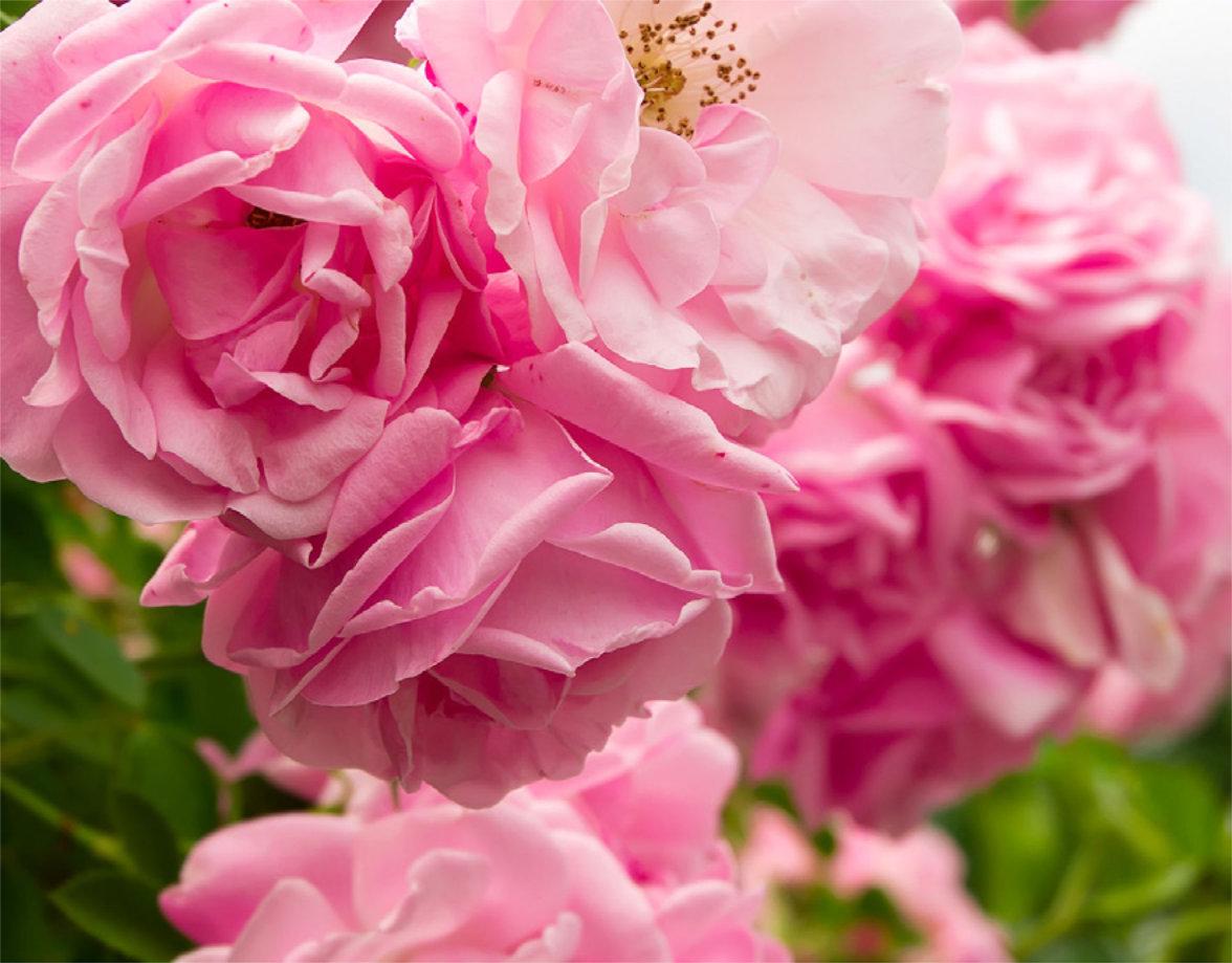 O ružo…
